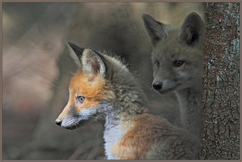 Young Red Foxes  5/5 (Vulpes vulpes)