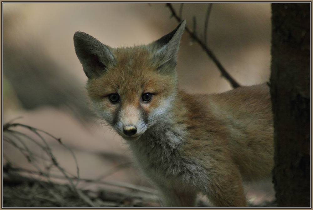 Young Red Fox    3/3