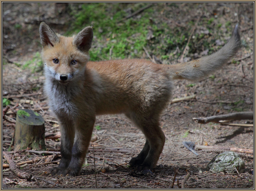 Young Red Fox    2/3