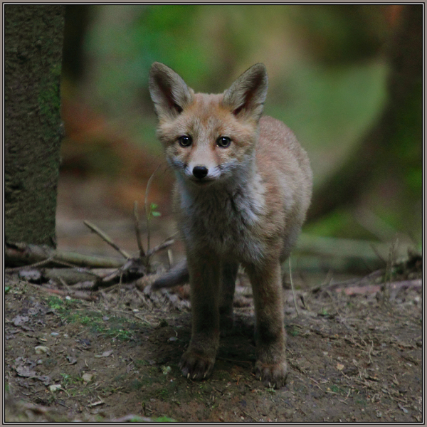 Young Red Fox    1/3