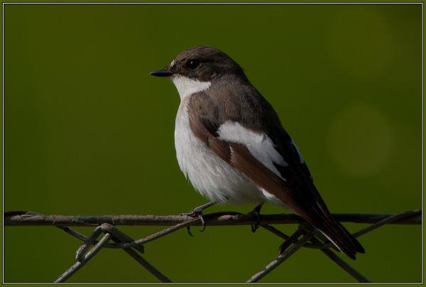 Pied Flycatcher - Male (Ficedula hypoleuca)