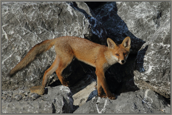 A young Red fox   (Vulpes vulpes)   1