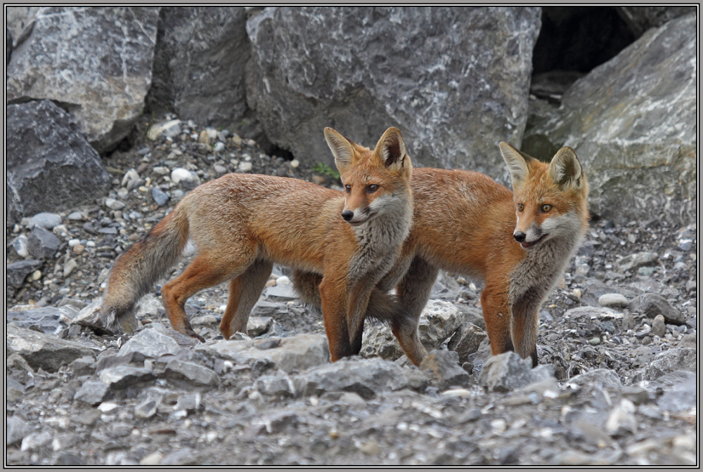 Young Red foxies   2