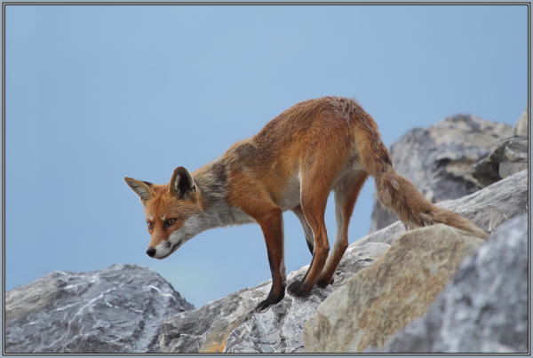Father Red Fox     3