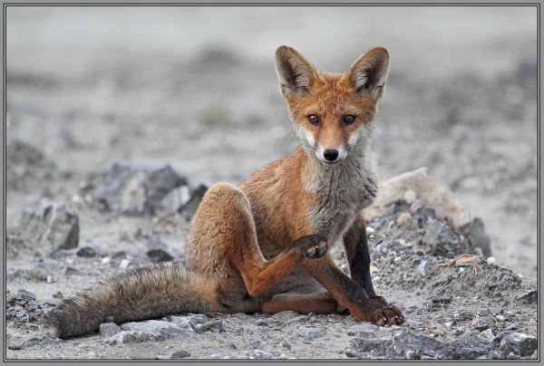 Young Red Fox     6