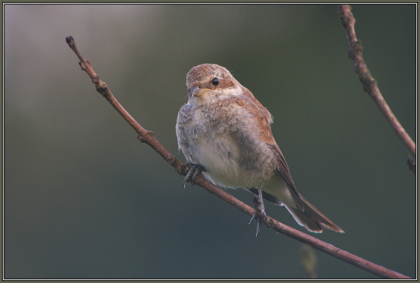 Red-backed Shrike - Young bird   (Lanius collurio)