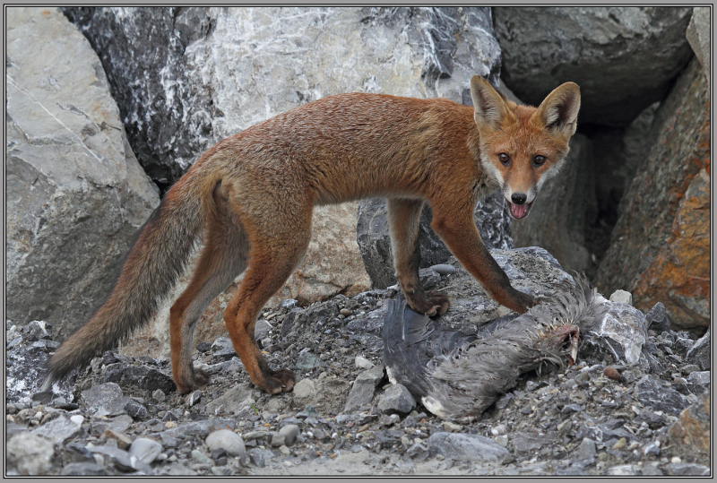 . . . the next red fox series   1/7