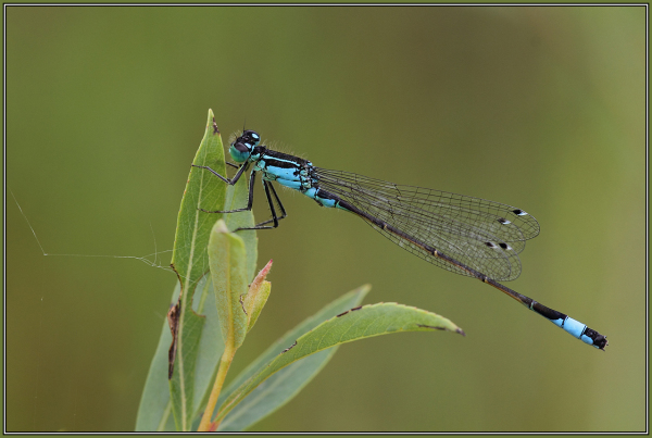 Große Pechlibelle   (Ischnura elegans)