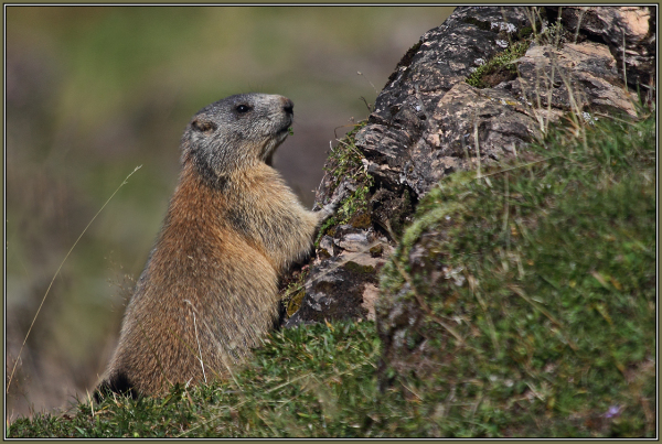 Marmot   1/3