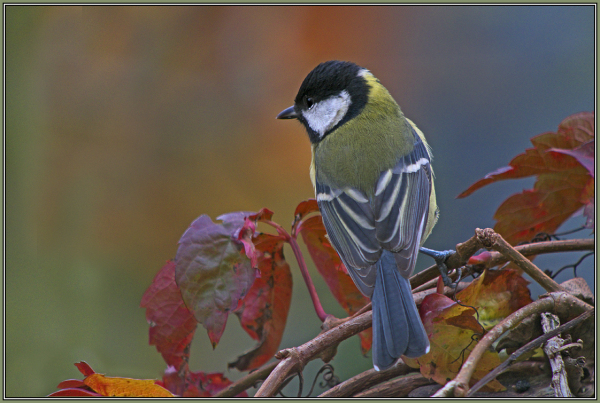 Great Tit - in autumnal frame