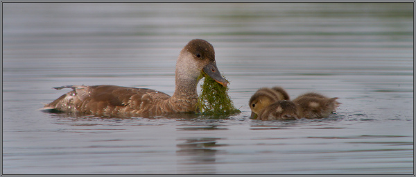 Red-crested Pochard feeding her babies !