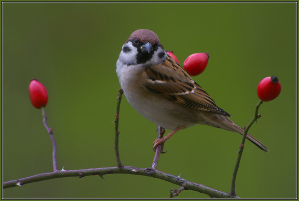 Tree Sparrow     (Passer montanus)   2/2