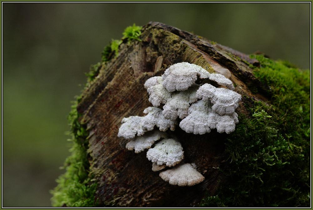 Gemeiner Spaltblättling - Schizophyllum commune