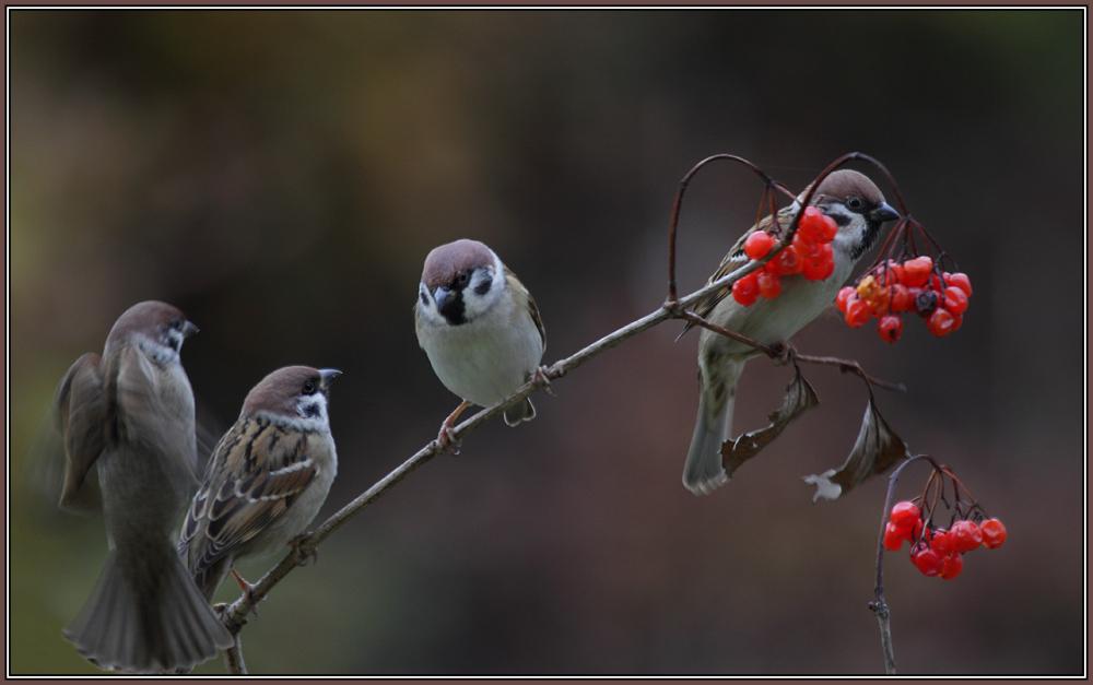 Tree Sparrows     (Passer montanus)