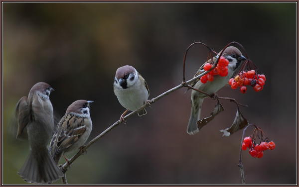 Tree Sparrows     (Passer montanus)