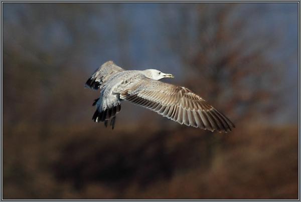 Caspian Gull   (Larus cachinnans)  1. Winter