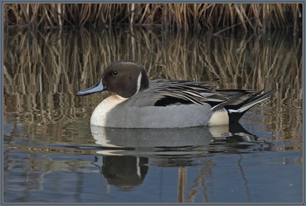 Northern Pintail  -  Male  (Anas acuta)