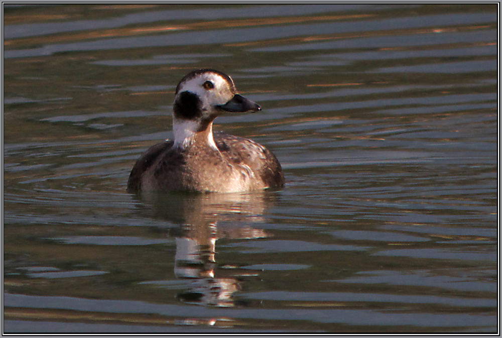 Long-tailed Duck - Female  (Clangula hyemalis)