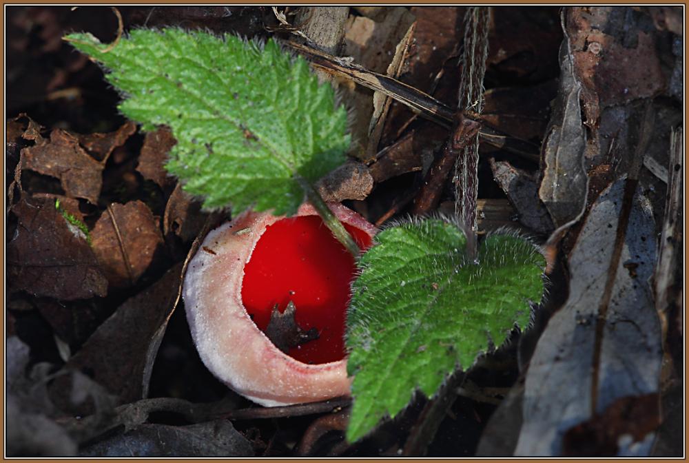 Scarlet Elf Cup   (Sarcoscypha coccinea)