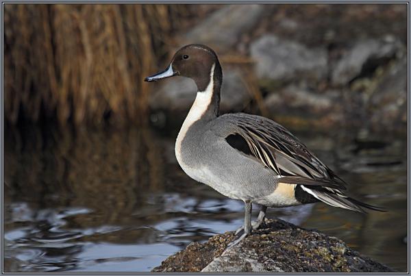 Northern Pintail  -  Male  (Anas acuta)   2/3