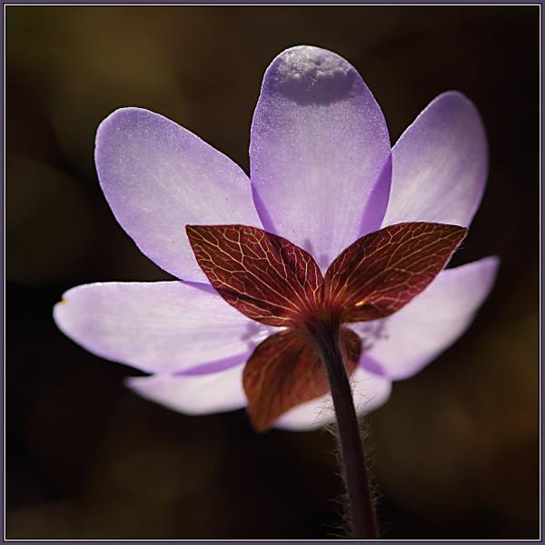 Hepatica nobilis  1/2