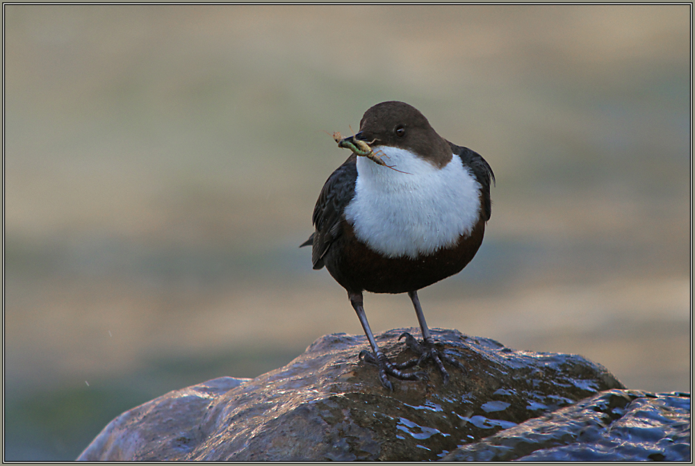 Dipper with food for his partner   1/2