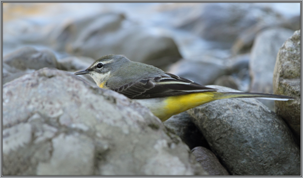 Grey Wagtail - Female   1/2  (Motacilla cinerea)