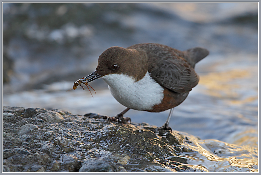 Dipper with food for his partner   2/2