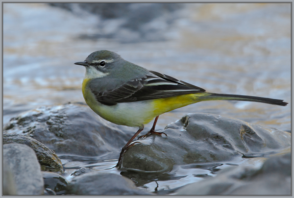 Grey Wagtail - Female   2/2  (Motacilla cinerea)