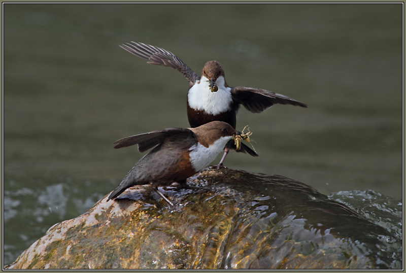 Industrious Dippers with food for their children !
