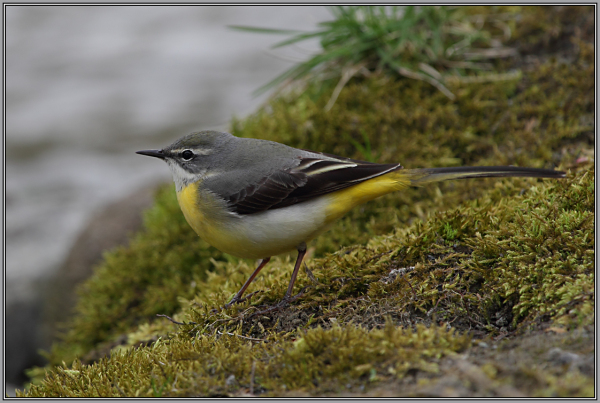 Grey Wagtail     Female  (Motacilla cinerea)