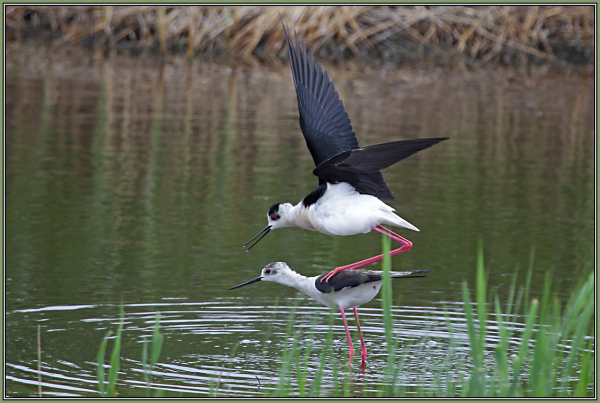 Black-winged Stilt  in love