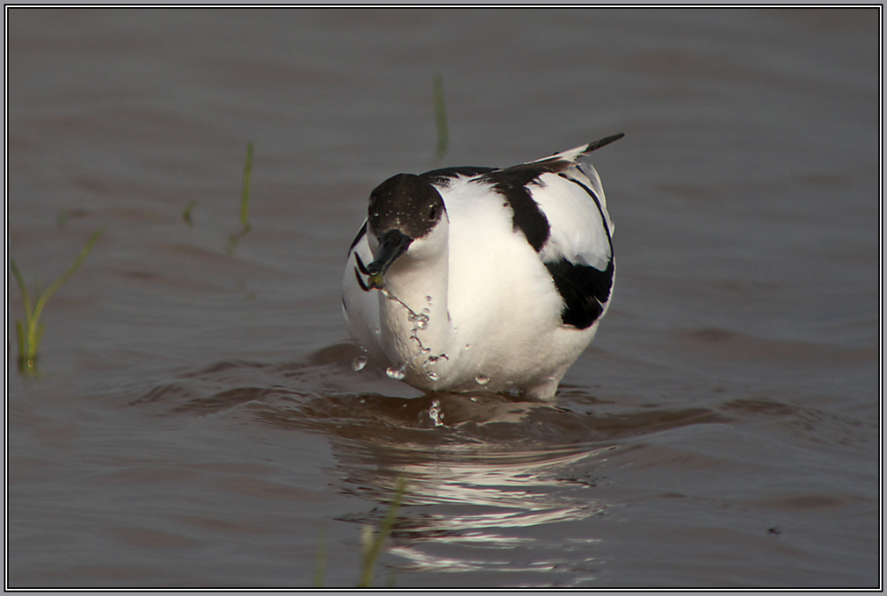Avocet    2/2   (Recurvirostra avosetta)