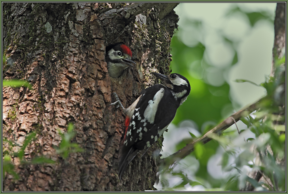 Great Spotted Woodpecker feeding her offspring