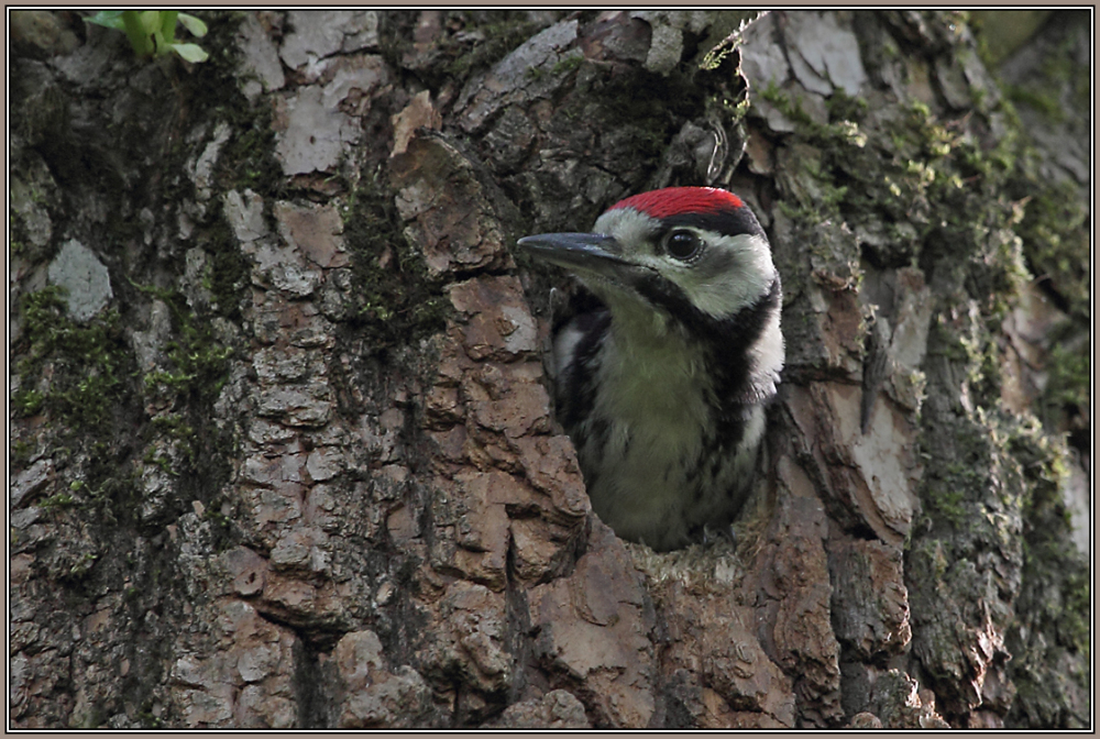A young Great Spotted Woodpecker