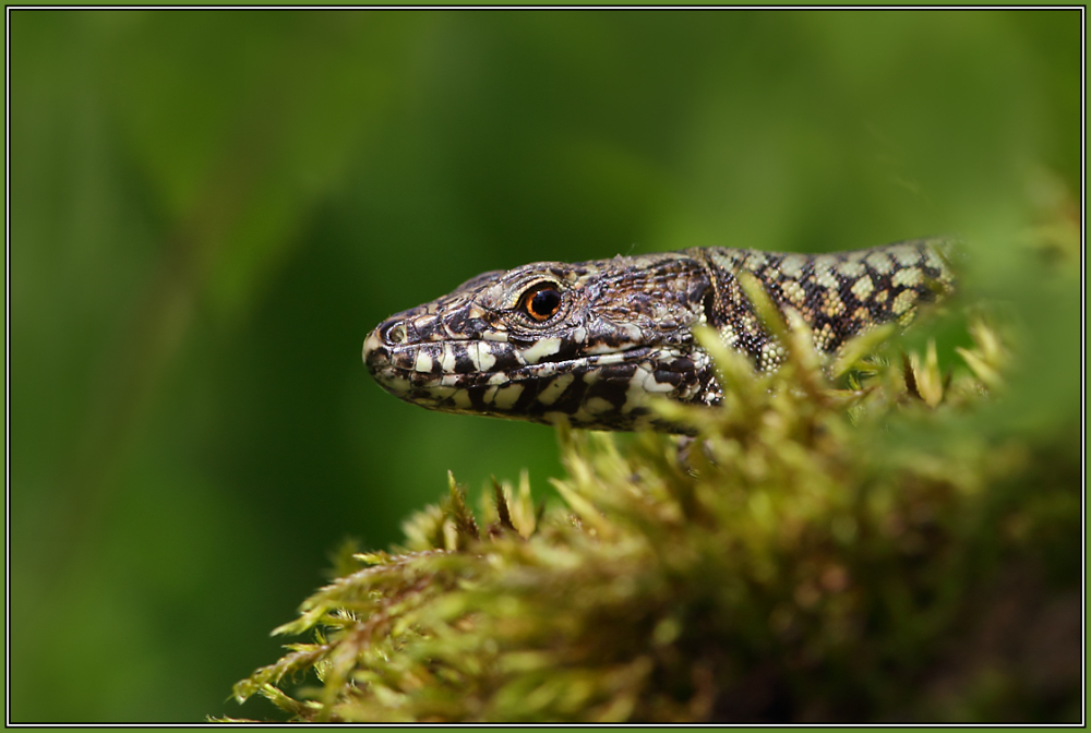 Common Wall Lizard    (Podarcis muralis)