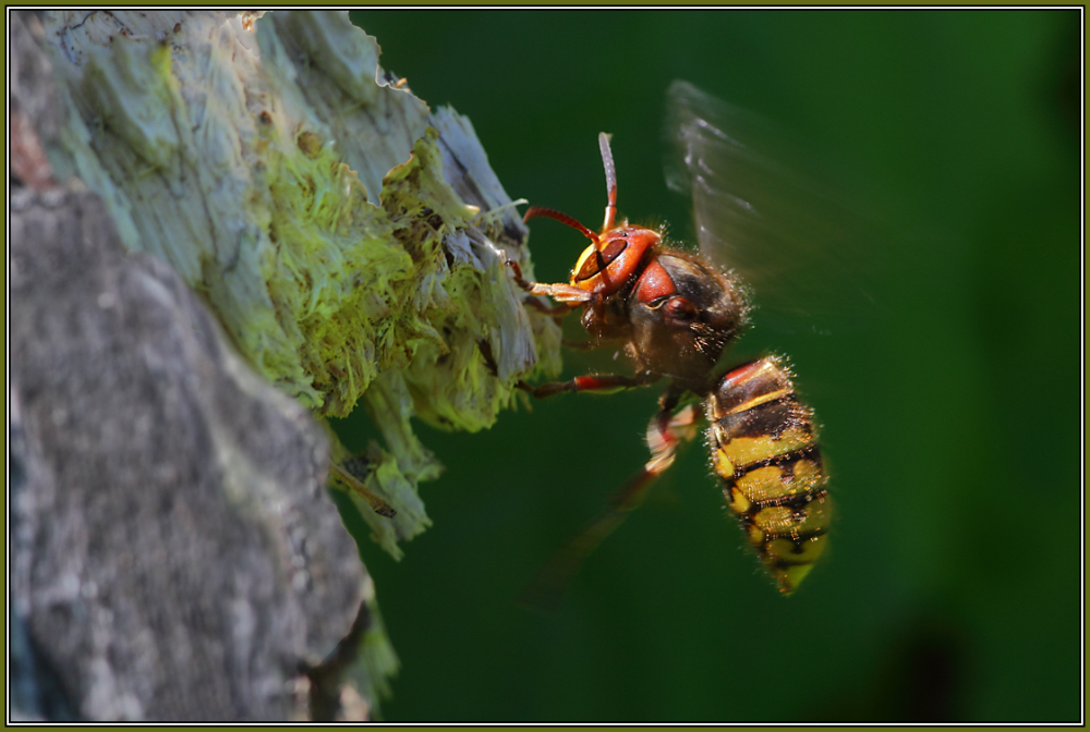 European hornet  - Queen       (Vespa crabro)