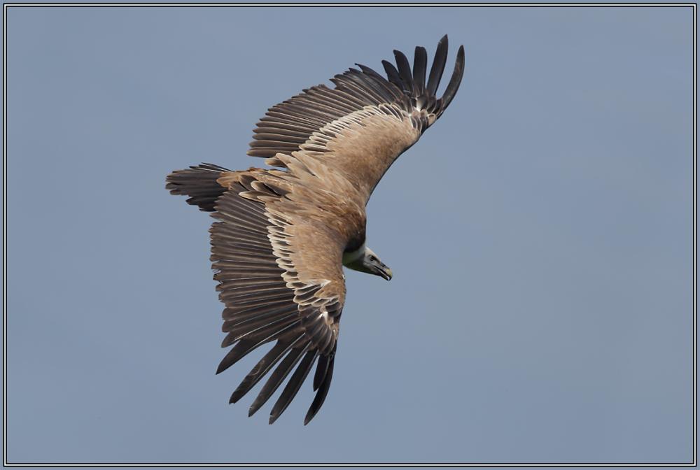 Griffon Vulture 2/2 (Gyps fulvus)
