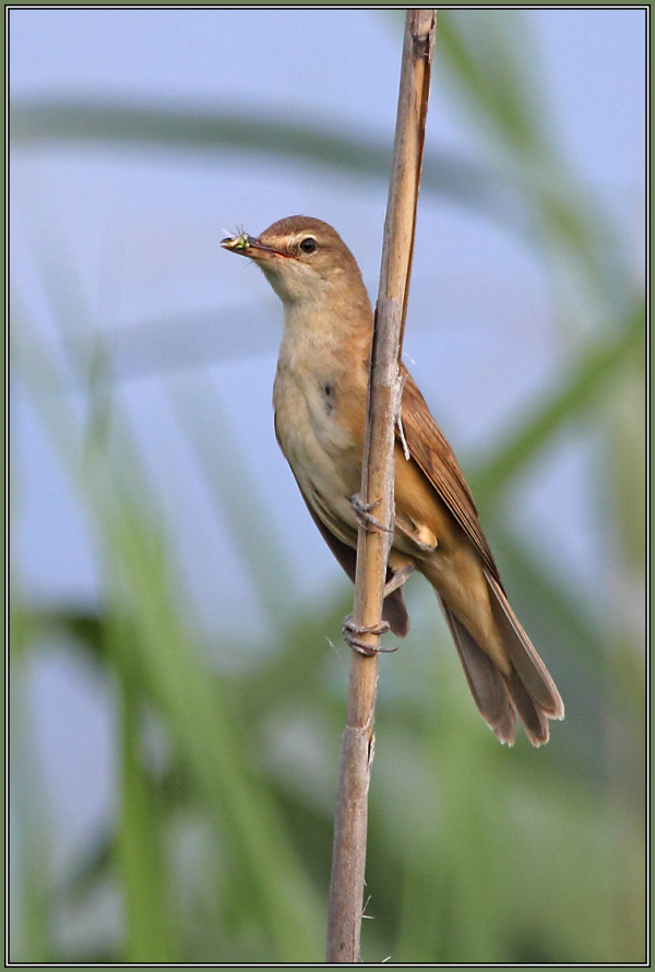 Great Reed Warbler    (Acrocephalus scirpaceus)