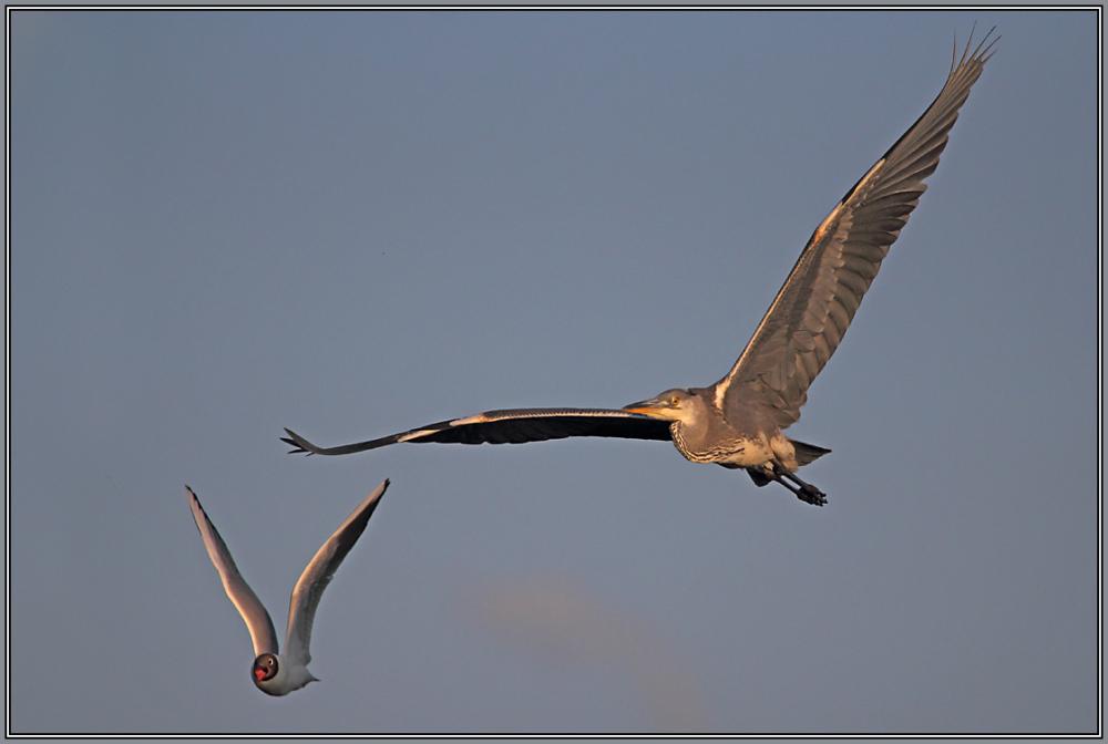 Grey Heron   1/2  (Ardea cinerea)