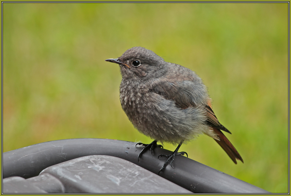 Young Black Redstart  1/2