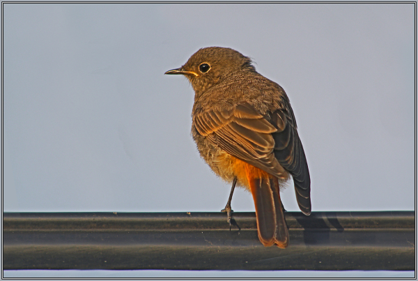 Young Black Redstart in the evening light