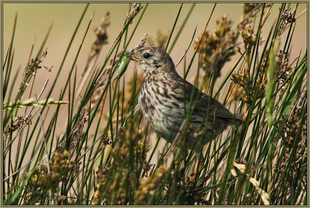 Meadow Pipit   1/2 (Anthus pratensis)