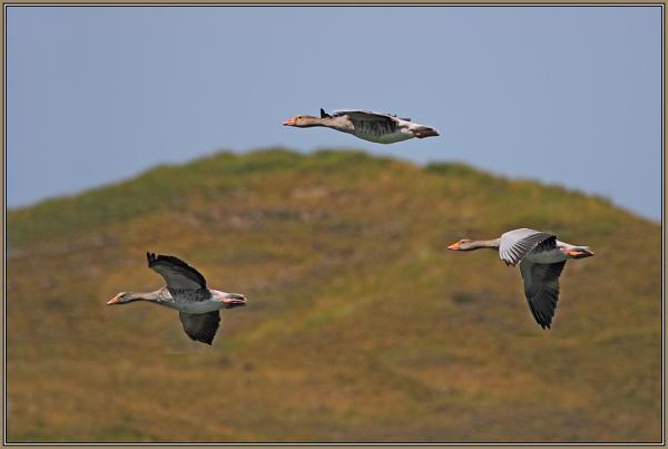 Grey Gooses