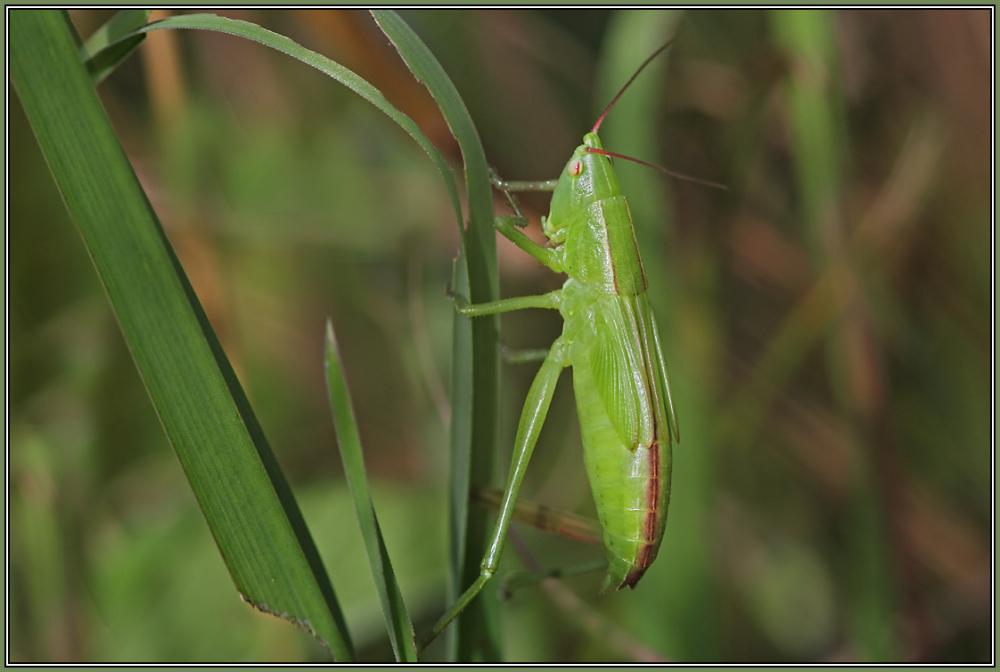 Große Schiefkopfschrecke  - Female