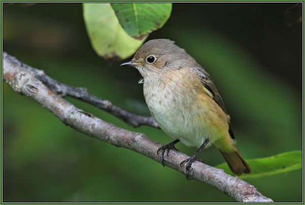 Redstart  - Female    (Phoenicurus phoenicurus)