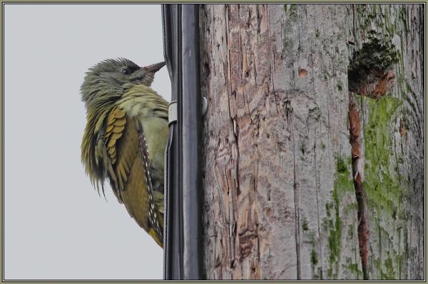 Grey-headed Woodpecker - Female (Picus canus) 2/2