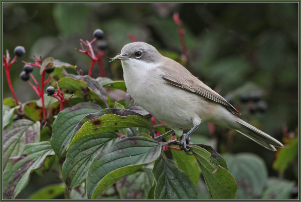 Lesser Whitethroat   2/3   Sylvia curruca