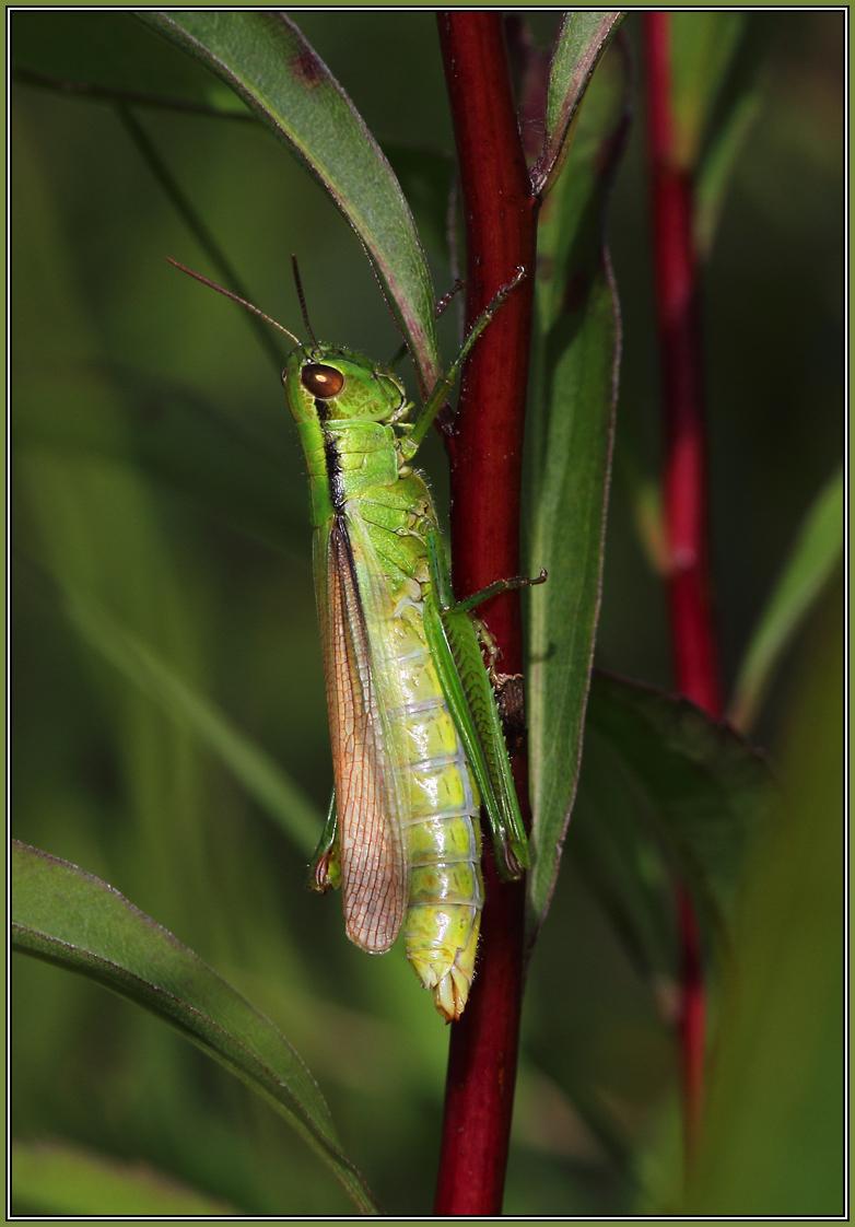 Parapleurus alliaceus  - Female