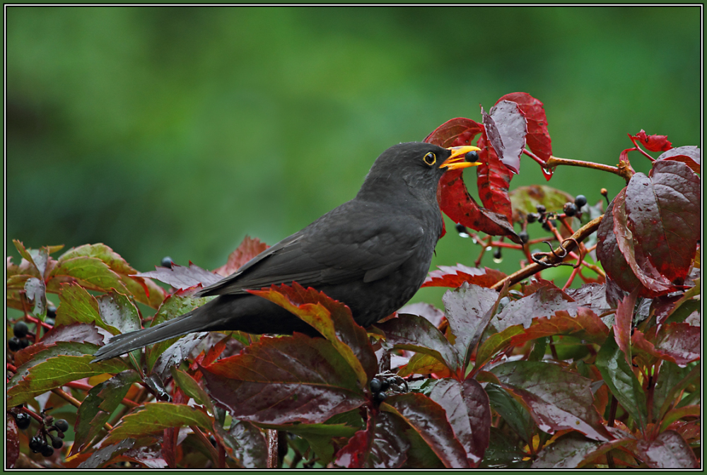 Blackbird  - Male